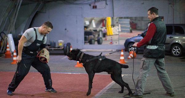 Кане-корсо часто называют бойцовыми псами