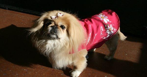 Во время холодов пекинесу нужна одежка