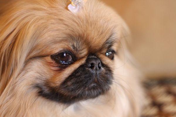 Пекинеса нужно регулярно показывать ветеринару