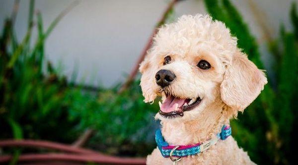 Мини-пудель традиционно считается декоративной собачкой