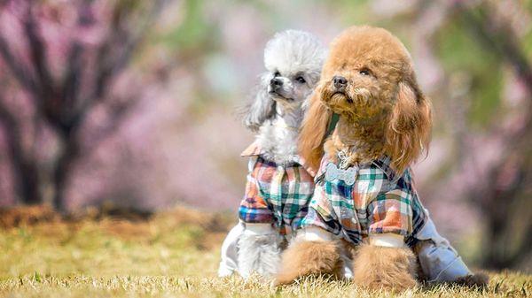 Необходимо регулярно ухаживать за шерстью пса
