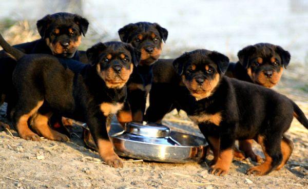 Желательно кормить щенков натуральной пищей