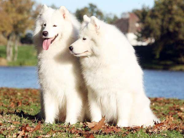 Весит самоедская собака от 17 до 30 кг