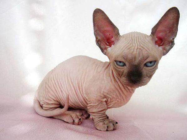 сфинкс котенок фото