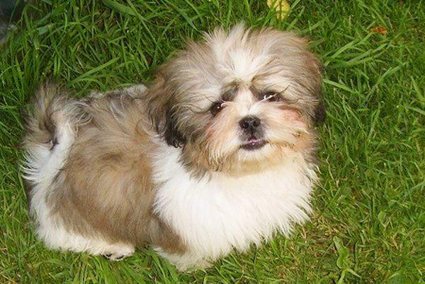 Стоимость щенка ши-тцу зависет от нескольких факторов