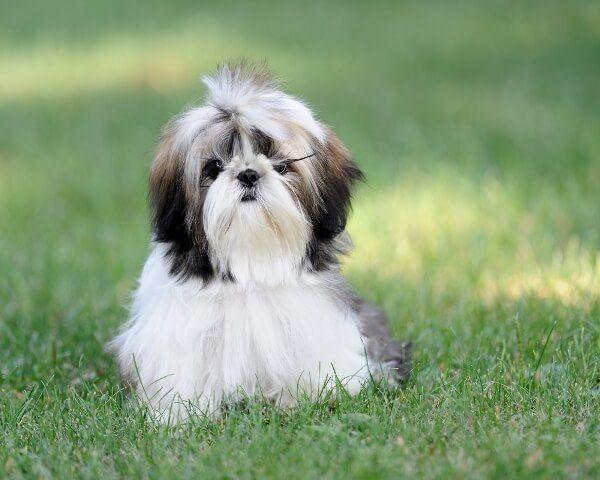 Не забывайте регулярно проверять уши пса