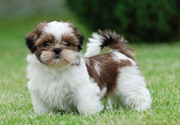 У щенка ши-тцу густая и длинная шерсть