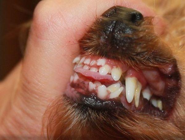 Померанский шпиц всегда имеет проблемы со сменой зубов