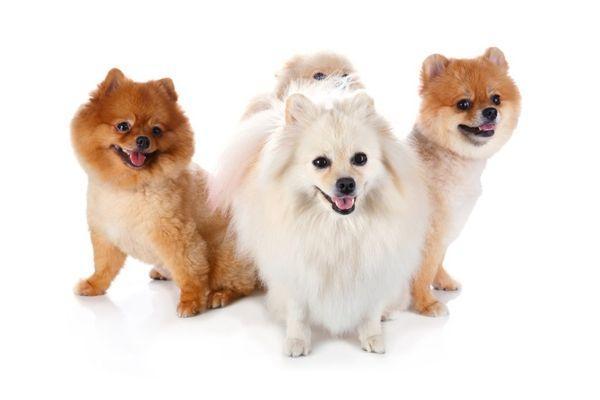 Собаки могут страдать от бронхита