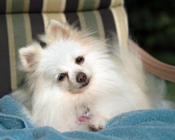 При обнаружении перхоти покажите пса ветеринару