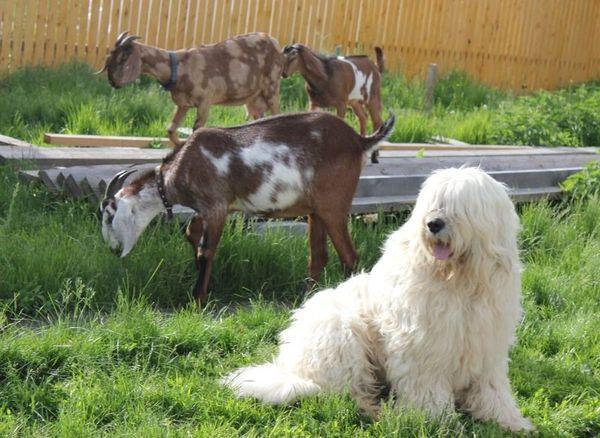 Южнорусская овчарка – мохнатая порода пастушьих собак