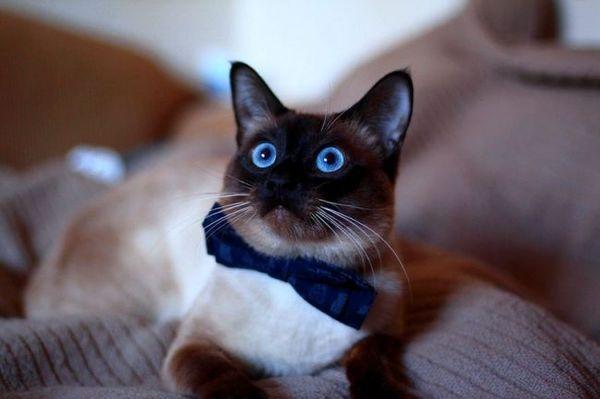 Тайские кошки очень умны, верны хозяину