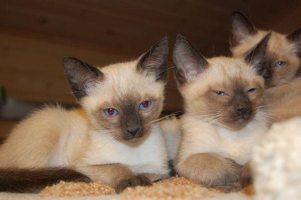 Цена котенка может колебаться от 6 до 30 тысяч рублей