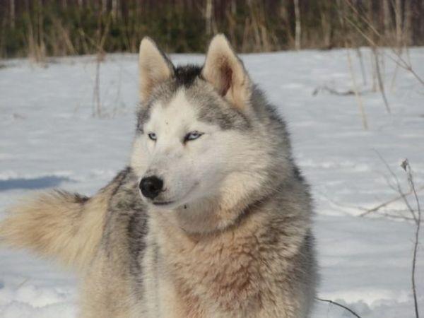 Необычная порода волкособ