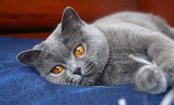 Британская кошка выделяется впечатляющей внешностью
