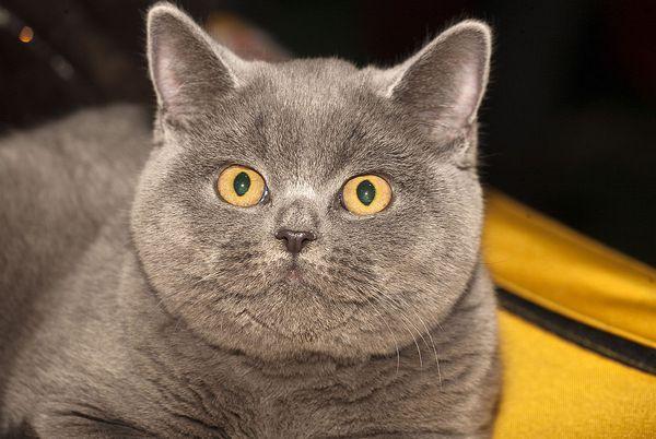 Британская кошка – сильное, доброе, умное животное