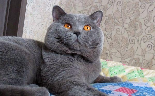 Британская кошка имеет уши среднего размера