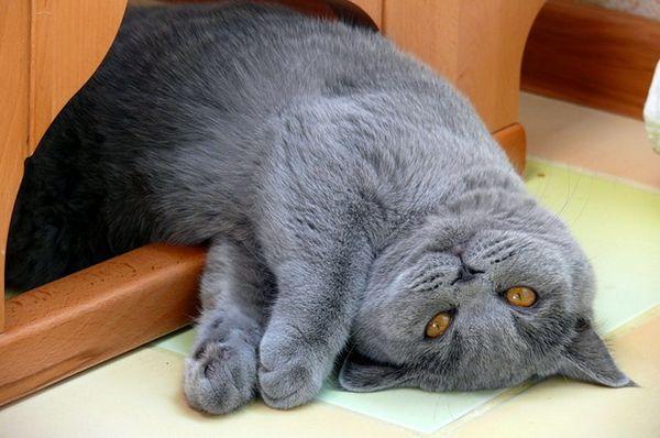 Британская кошка непривередлива в уходе