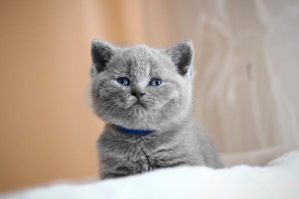 Британский котенок похож на игрушку