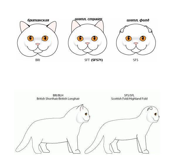 Различие британской и шотландской породы кошек