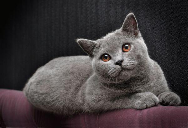 Британская порода кошки