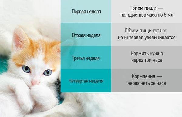 Примерный режим кормления котят