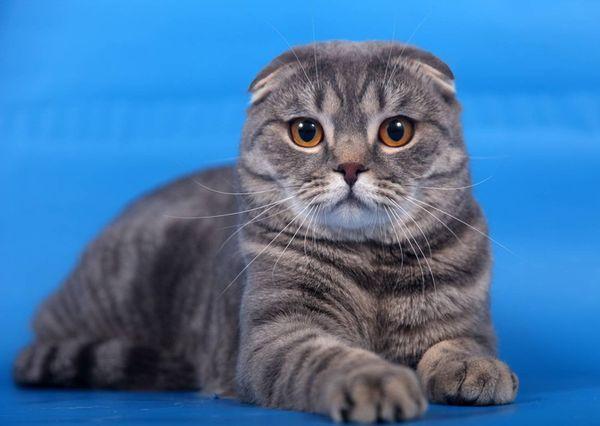 Шотландская кошка – ближайшая родственница британской