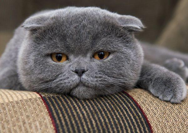 Температура кошки в пределах 38–39 °C считается нормальной