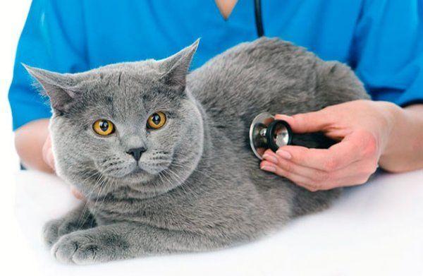 Стерилизация кошки – сложная процедура