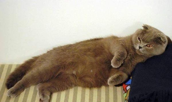 Беременная кошка требует бережного обращения