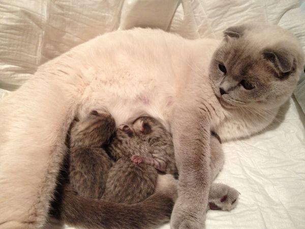 Вислоухая кошка с потомством