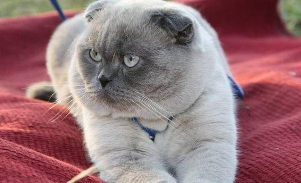 Поинтовая расцветка кошки