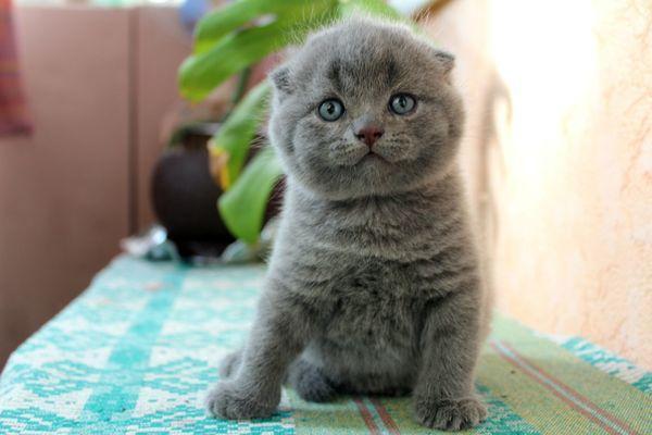 Котенок вислоухой породы