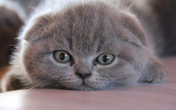 Кошечка породы британка
