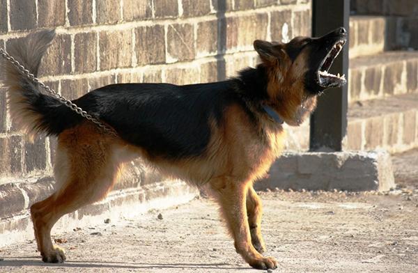 Собака лает, когда на ее территорию приводят другого пса