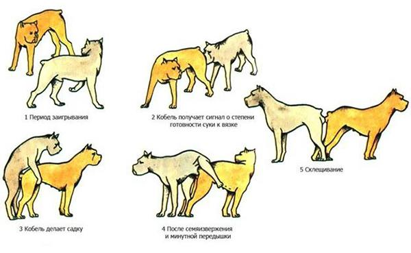 Процесс спаривания собак, склещивание