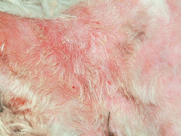 Малассезиозный дерматит у собаки