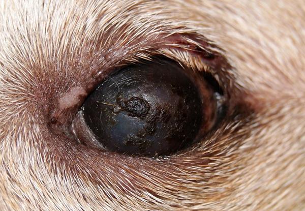Сухой кератоконъюнктивит у собаки