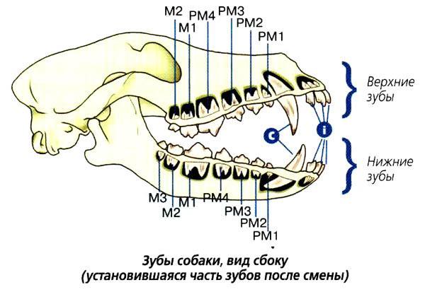 Зубы собаки (вид сбоку)