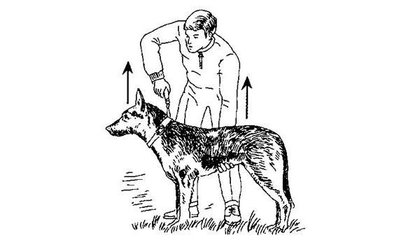 Сделайте поводком легкий рывок вперед и одновременно поднимите животное ладонью