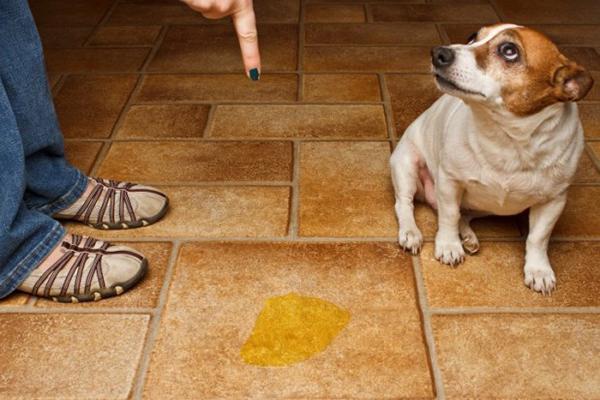 Недержание мочи может быть не только у пожилых собак