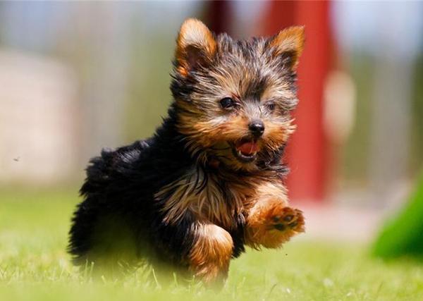 Нелиняющая собака йоркширский терьер