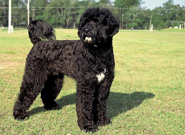 Гипоаллергенная португальская водяная собака