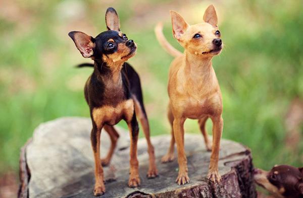 Миниатюрная собака породы Той-терьер
