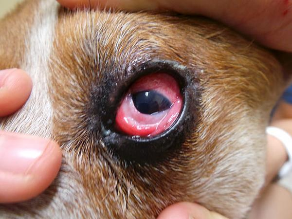 Аллергический конъюнктивит у собаки