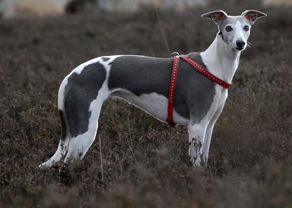 Уиппет - собака для ленивых хозяев