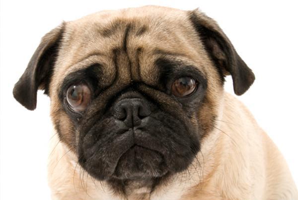 Косоглазие у собаки чаще всего вызвано другим заболеванием
