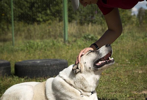 С взрослым псом важно ласко разговаривать, часто гладить