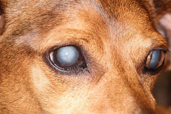 Катаракта («Серая звезда») у собак