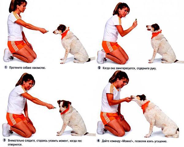 Постепенно обучайте собаку основным командам «Фу!», «Рядом!», «Сидеть!»